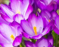 Purple crocus flower blossoms background