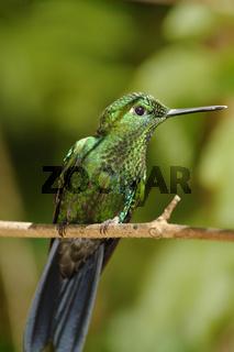 Garden Emerald Hummingbird, Costa Rica