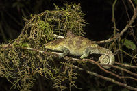 Cryptic Chameleon (Calumma crypticus)
