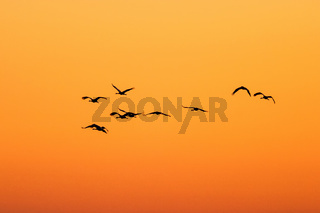 Crane flying in silhouette against the sunset sky