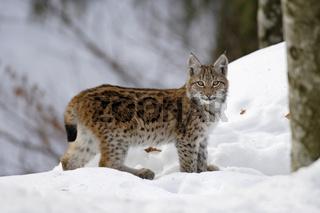 Eurasischer Luchs, Lynx lynx, Eurasian lynx