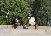 2 Berner Sennenhunde