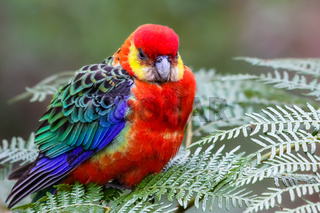 Close up of a colorful Western rosella perching on leaves, Gloucester National Park, Western Austral