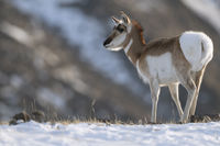 erecting hairs on the rump... Pronghorn *Antilocapra americana*
