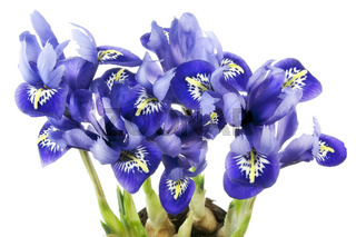 Spring  blue irises grow from bulbs macro