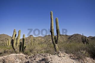 Kakteenlandschaft im Norden von Argentinien, Cactuses landscape, north of Argentina, Argentina