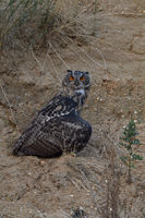 hiding prey... Eurasian Eagle Owl *Bubo bubo* covers prey with its wings