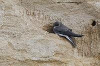 our smallest swallow... Sand Martin / Bank Swallow  *Riparia riparia*