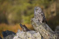 first sunlight shines on autumnal coloured woods... Ural Owl *Strix uralensis*