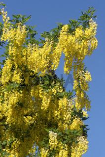 Blüten und Blätter des Gemeinen Goldregens