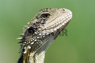 great image of an australian eastern water dragon (Physignathus lesueurii lesueurii)