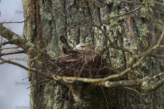 nesting... Fieldfare *Turdus pilaris*