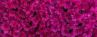 Magenta flowers of chrysanthemums