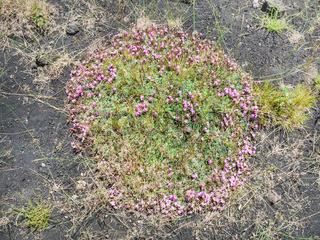 pink flowers on volcanic soil on slope of Etna