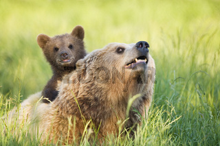 Baerenmutter mit Jungtier, Europaeischer Braunbaer, Baer, (Ursus arctos), Bayern, Deutschland, Brown Bear young, Bavaria, Germany