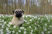 Pug dog sitting in a meadow with wood anemones, Schleswig-Holstein, Germany, Europe