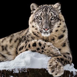 Sunbathing Snow Leopard IV