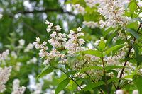 Kleinblaettriger Pfeifenstrauch, Philadelphus microphyllus - littleleaf mock-orange, Philadelphus microphyllus white blooming shrub