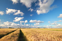 wheat field and blue sky on sunny day