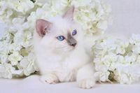 SACRED CAT OF BIRMA, BIRMAN CAT, KITTEN, BLUEPOINT,