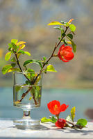 Japanese ornamental quince - Chaenomeles japonica