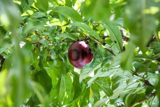ripe red plum on tree