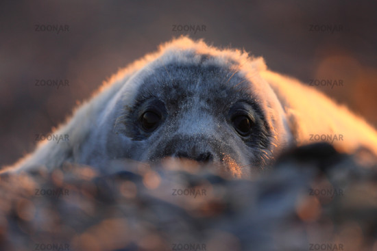 Audibles gray seal in the dawn