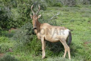 Red Hartebeest foraging, Addo Elephant National Park
