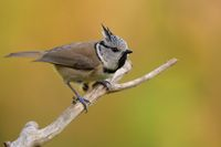 crested tit on a branch