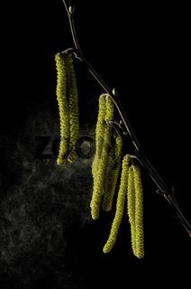 haselnussbluetenstaub corylus avellana