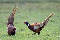 Common Pheasant / Pheasant / Pheasant cock fighting / Game Pheasant / Phasianus colchicus