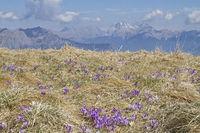 crocus meadow in Friuli