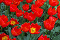 Triumph Tulip Vesna, Keukenhof Flower Gardens, Lisse, Bollenstreek, Netherlands