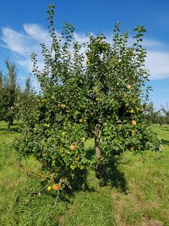 Landsberger Renette, Apfel, Malus, domestica, Alte Apfelsorte