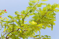 delonix regia or flame tree outdoors