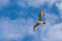 Gull on the sky