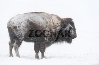 im Schneesturm... Amerikanischer Bison *Bison bison*