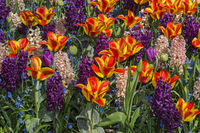 Flower bed with colorful of varouis spring flowers, Netherlands