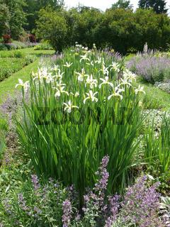 Iris orientalis Frigia, Orientalische Schwertlilie