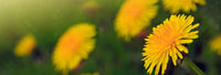 Yellow dandelion background.