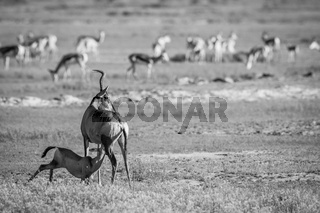 Suckling baby Red hartebeest in black and white