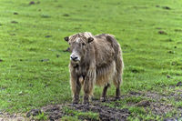 Yak calf on a pasture, Mongolia