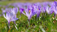 Drebach Krokuswiesen im Erzgebirge  - Crocus flowers in Drebach, Saxony
