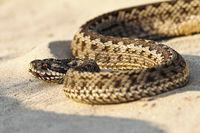 close up of moldavian meadow viper in natural habitat