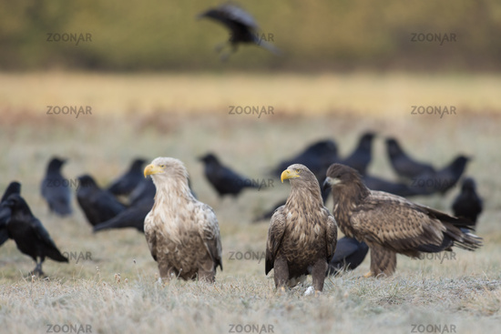of different age... White-tailed Eagles *Haliaeetus albicilla*