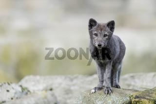 Polarfuchs, Vulpes lagopus, Arctic fox