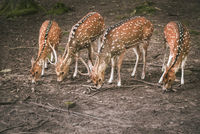 Fallow deer aligned while eating