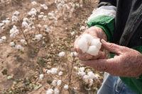 Man Holds Cotton Boll Farm Field Texas Agriculture Cash Crop