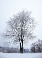 Winter bare trees without leaves under snow