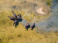 Top view at water buffaloes